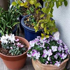 元気の源/鉢植え/庭の花たち/癒しの場所/癒しの空間/お花大好き/... 今日は 雨;(´•௰•`)☂  雨風強く…(1枚目)