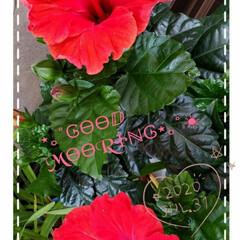 夏の花/ガーデニング/花大好き/花のパワー/元気の源/ハイビスカス/... 今日も素敵な一日になりますように(♥Ü♥…