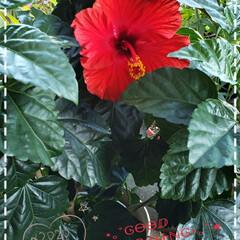 リミアな生活/リミアのある暮らし/住まい/花好き/夏も終わり/ハイビスカス/... 今日も素敵な一日になりますように(♥Ü♥…