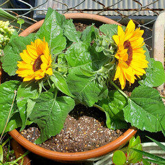 お花大好き/癒しの空間/ガーデニング/鉢植え/ひまわり/季節の花/... オクラの苗と一緒に購入した 我が家の新顔…(1枚目)