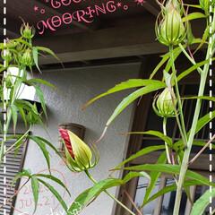 モミジアオイ/リミアのある暮らし/ガーデニング/庭の花たち/我が家の庭の花/花のある生活/... 今日も素敵な一日になりますように(♥Ü♥…