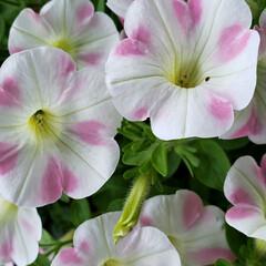 HappyLife/Happy/頑張ろう/元気の源/癒しの空間/我が家の庭の花/... 今日も素敵な一日になりますように(♥Ü♥…(2枚目)