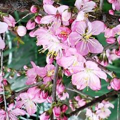 春の花/花木/季節の花/癒しの場所/癒しの空間/花のある生活/... 昨年植えた  春を感じる🌸ஐ೨🌸  サク…(2枚目)