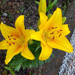 我が家の庭の花/癒しの空間/ユリ/ガーデニング/花のある生活/お花大好き/... ユリは 雨でやられてしまうかも…😟 と……(1枚目)