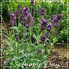 地植え/お花大好き/ガーデニング/癒しの空間/花のパワー/花のある生活/... 今日も素敵な一日になりますように(♥Ü♥…