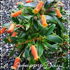 イワタバコ科/シーマニア/庭の花たち/我が家の庭の花/癒しの場所/癒しの空間/... 今日も素敵な一日になりますように(♥Ü♥…