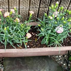 お花大好き/我が家の庭の花/花のある生活/花のある暮らし/プランター/ガーデニング/... 母の日のカーネーションを 2つ一緒にプラ…(2枚目)