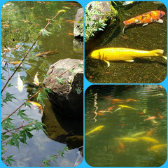 金の鯉/おでかけ 先日散策した場所に 数ヶ所池があり 鯉が…
