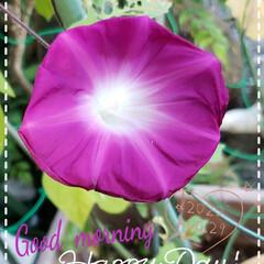 朝顔/花好き/花のパワー/元気の源/癒しの空間/癒しの場所/... 今日も素敵な一日になりますように(♥Ü♥…