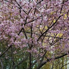 癒される時間/綺麗/桜/ドライブ/フォロー大歓迎/ピンク/... 伊豆の桜🌸 桜まつり会場までは 行かずだ…