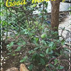 ガーデニング/ボケ/ボケの実/庭の花たち/我が家の庭の花/花のある生活/... 今日も素敵な一日になりますように(♥Ü♥…