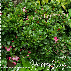 鉢植え/ガーデニング/お花大好き/元気の源/花のパワー/まだまだ咲き続けてる/... 今日も素敵な一日になりますように(♥Ü♥…