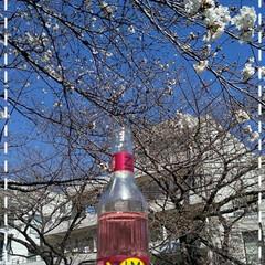 お花見スポット/休日の至福のひと時/サクラとZIMA/桜色/フォロー大歓迎/いいねTop10決定戦/... 今日も素敵な一日になりますように(♥Ü♥…