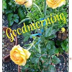 元気の源/癒しの空間/癒しの場所/鉢植え/薔薇/庭の花たち/... 今日も素敵な一日になりますように(♥Ü♥…