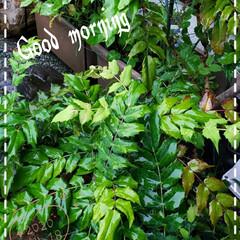 ヒイラギ/元気の源/癒しの場所/癒しの空間/ガーデニング/庭の花たち/... 今日も素敵な一日になりますように(♥Ü♥…