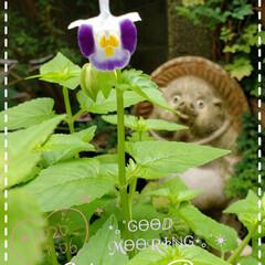 トレニア/たぬきの置物/庭の花/我が家の庭の花/花のある暮らし/花のある生活/... 今日も素敵な一日になりますように(♥Ü♥…