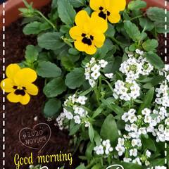 癒しの場所/癒しの空間/季節の花/花好き/ガーデニング/ビオラ/... 今日も素敵な一日になりますように(♥Ü♥…