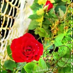 ガーデニング/癒しの空間/花のパワー/お花大好き/庭の花たち/我が家の花/... 今日も素敵な一日になりますように(♥Ü♥…