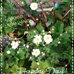 シュウメイギク/癒しの場所/癒しの空間/住まい/暮らし/花好き/... 今日も素敵な一日になりますように(♥Ü♥…