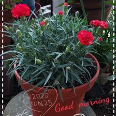 カーネーション/庭の花たち/我が家の庭の花/鉢植え/ガーデニング/母の日カーネーション/... 今日も素敵な一日になりますように(♥Ü♥…