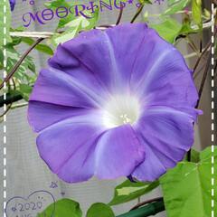 季節の花/朝顔/花のある生活/花のある暮らし/庭の花たち/プランター/... 今日も素敵な一日になりますように(♥Ü♥…