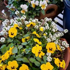 元気の源/鉢植え/庭の花たち/癒しの場所/癒しの空間/お花大好き/... 今日は 雨;(´•௰•`)☂  雨風強く…(3枚目)