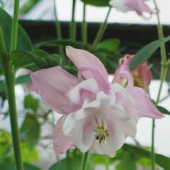 ガーデニング/お花大好き/ガーデニング好き/癒しの空間/花のパワー/花のある暮らし/... 今日も素敵な一日になりますように(♥Ü♥…(2枚目)
