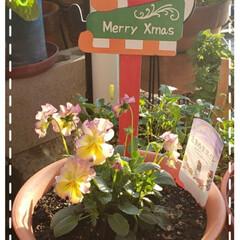 merrychristmas/サンタさん/ときめきスミレ/スミレ/オリジナルビオラ/鉢植え/... 今日も素敵な一日になりますように(♥Ü♥…