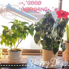 窓辺で育つ花たち/ガーデニング/冬の花/夏の花/ポインセチア/ハイビスカス/... 今日も素敵な一日になりますように(♥Ü♥…