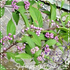 癒しの場所/癒しの空間/コムラサキ/庭の花たち/我が家の庭の花/花のある生活/... 今日も素敵な一日になりますように(♥Ü♥…
