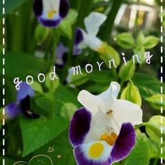 トレニア/ハナウリクサ/癒しの空間/癒しの場所/元気の源/花大好き/... 今日も素敵な一日になりますように(♥Ü♥…