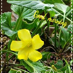 こぼれたね/鉢植え/花好き/キイロハナカタバミ/オオキバナカタバミ/黄色い花/... 今日も素敵な一日になりますように(♥Ü♥…