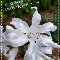地植え/ガーデニング/開花/ボウデニー/花大好き/花のある生活/... 今日も素敵な一日になりますように(♥Ü♥…