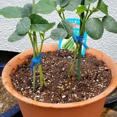 島の唄/島オクラ/初の試み/自家菜園/オクラ オクラの苗を購入してみた(、´ᴗ`)ノ …(1枚目)
