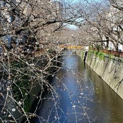 まだ満開には早かった/お花見/お花見スポット/桜/フォロー大歓迎/いいねTop10決定戦/... お花見スポットで人気の 目黒川へ🌸👀💕💕…