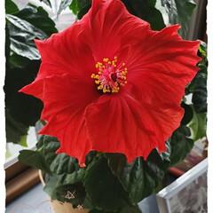部屋/屋内/夏の花/寒い季節/季節はずれ/ハイビスカス/... 今日も素敵な一日になりますように(♥Ü♥…