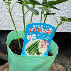島の唄/島オクラ/初の試み/自家菜園/オクラ オクラの苗を購入してみた(、´ᴗ`)ノ …(2枚目)