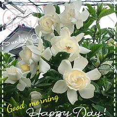 花の香り/くちなしの花/毎年咲く花達/花の成長/ガーデニング/お花大好き/... 今日も素敵な一日になりますように(♥Ü♥…