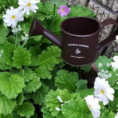 小人/ガーデニング/花のある暮らし/ガーデン雑貨/ガーデニング雑貨/LIMIAガーデニング部/... プランターに種から植えていた マラコイデ…(2枚目)
