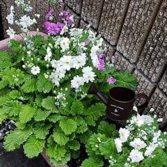 小人/ガーデニング/花のある暮らし/ガーデン雑貨/ガーデニング雑貨/LIMIAガーデニング部/... プランターに種から植えていた マラコイデ…(3枚目)