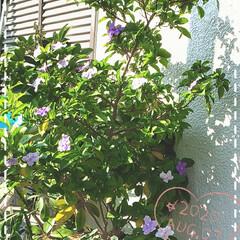 元気の源/花のパワー/癒しの場所/癒しの空間/ブルンフェルシア/玄関の花/... 今日も素敵な一日になりますように(♥Ü♥…