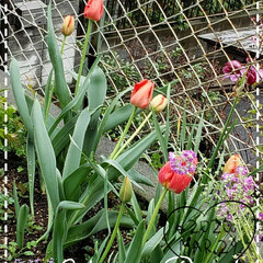 負けずに咲いてる花/チューリップ/わが家の庭の花/お花大好き/花のある暮らし/フォロー大歓迎/... 今日も素敵な一日になりますように(♥Ü♥…