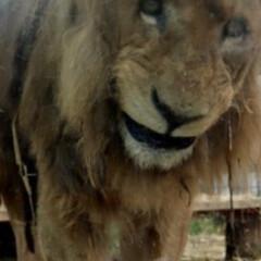 おすすめアイテム 国内最高歳のライオンさんが亡くなりました…