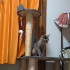 にゃんこ同好会/猫との暮らし/保護猫/キャットタワー/似合わない/不良品/... サクラの鈴付きゴム首輪作ってあげようと思…(6枚目)