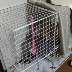 キジトラ/茶トラ白/保護猫/トイレ/洗い桶/二階建て/... 保護猫茶トラ白は、 一段のケージに入れる…(2枚目)