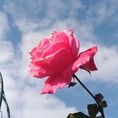 花/畑/風景 今朝 近所の小叔母の畑を見に 薔薇が 一…(1枚目)