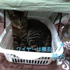 猫ベッド/消えた猫/くたびれもうけ/ニャンコ同好会/猫との暮らし/カゴ/... 今日は、換気扇2つ洗い 換気扇周り拭いた…(1枚目)