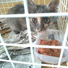 治療/保護猫/ニャンコ同好会/捕獲猫/迷い猫/捨て猫/... とりあえず目薬治療するのに お隣の空き部…(4枚目)