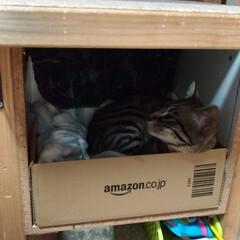 保護猫/キジトラ/LIMIAペット同好会/ペット/猫/にゃんこ同好会/... 昨夜のテン😸 昼に ボックス中央に在った…(3枚目)