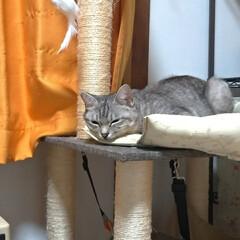寝相/可愛い/寝る/ニャンコ同好会/猫との暮らし/猫 眠い猫衆🐱💤  もう少ししたら 起きて暴…(1枚目)